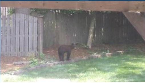 Black Bear Sighting in Spartanburg (Image 1)_16923