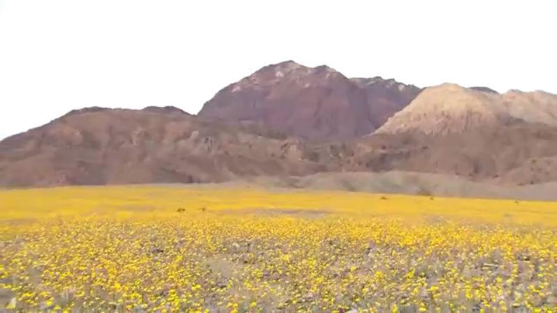 death valley wildflowers_145927