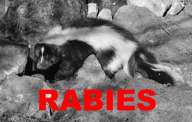 rabid-skunk_113836