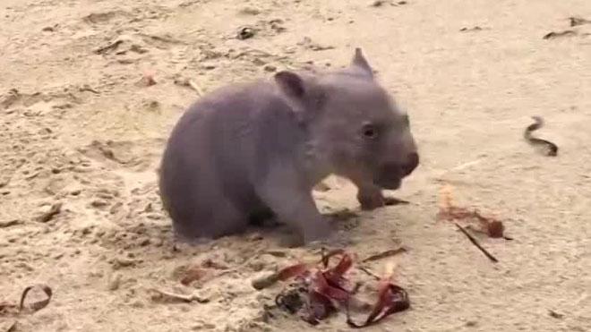 Derek the Wombat_165450