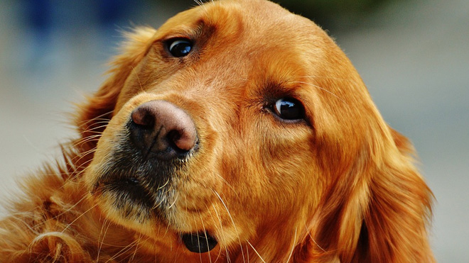 worried dog golden retriever generic_221921