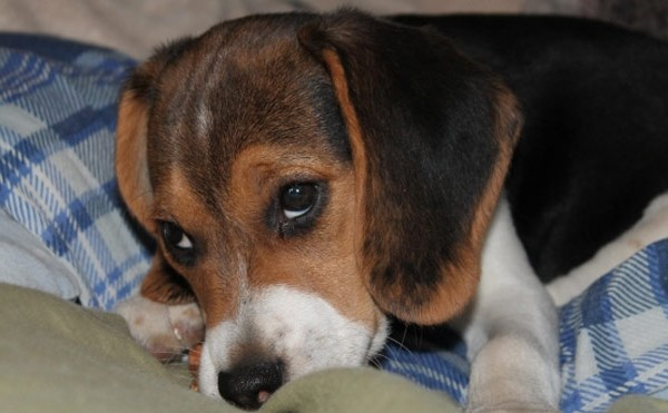 dog beagle cute_119355