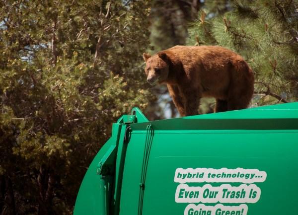 ODD Bear Rides Garbage Truck_226777