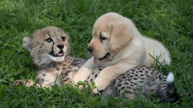 cheetah-ad-puppy_240709