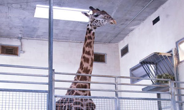 miles-the-giraffe_248675