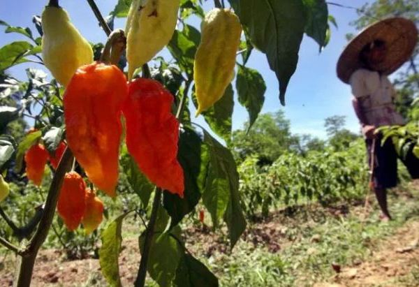 Ghost Peppers_260083