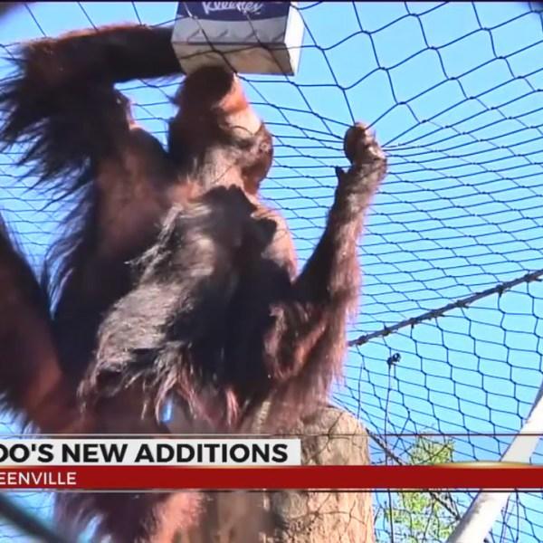 orangutan greenville zoo lana and kumar_308890