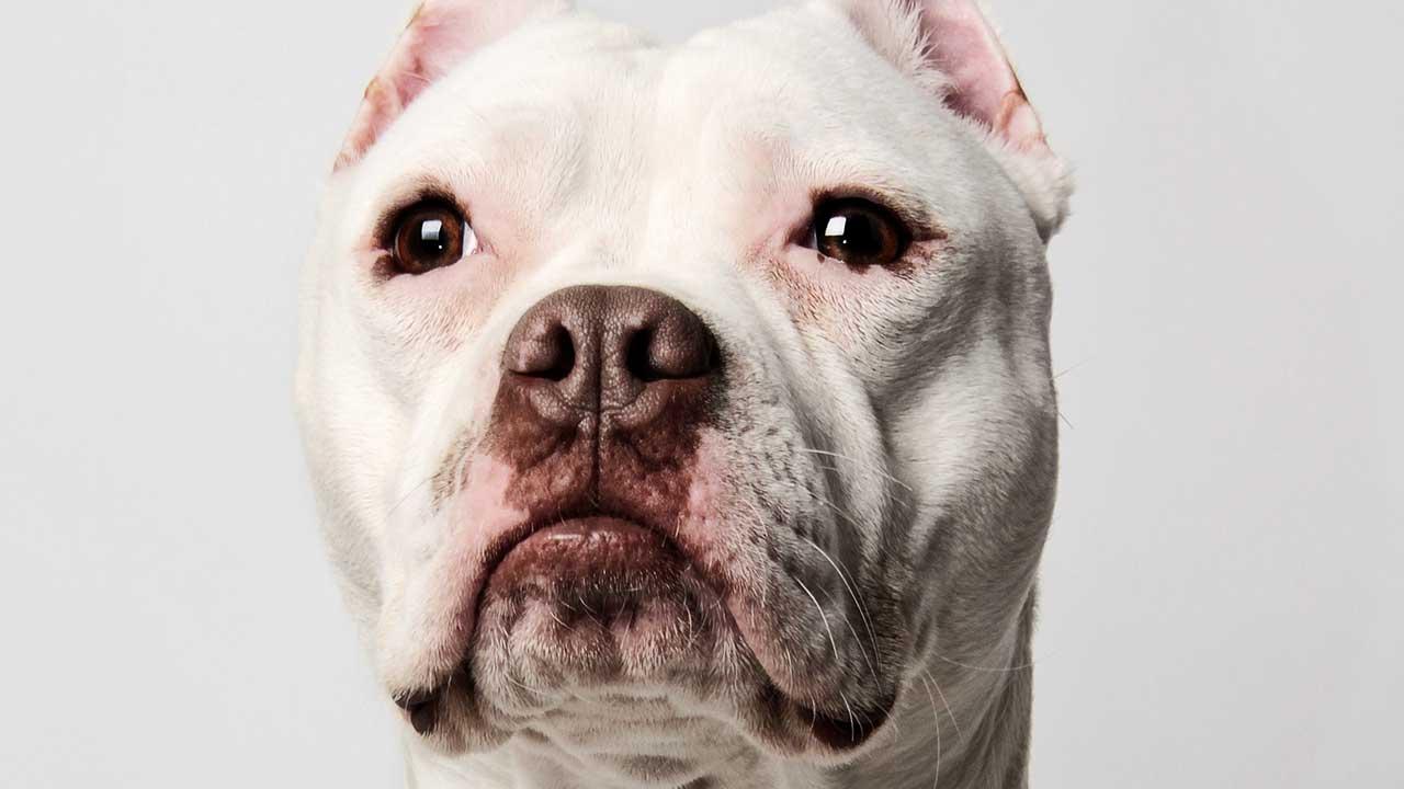 pitbull-generic_297449