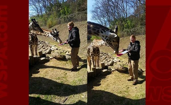 giraffes-web_316768