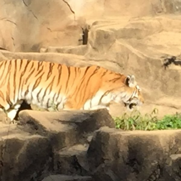 rsz_tiger_at_zoo_313075