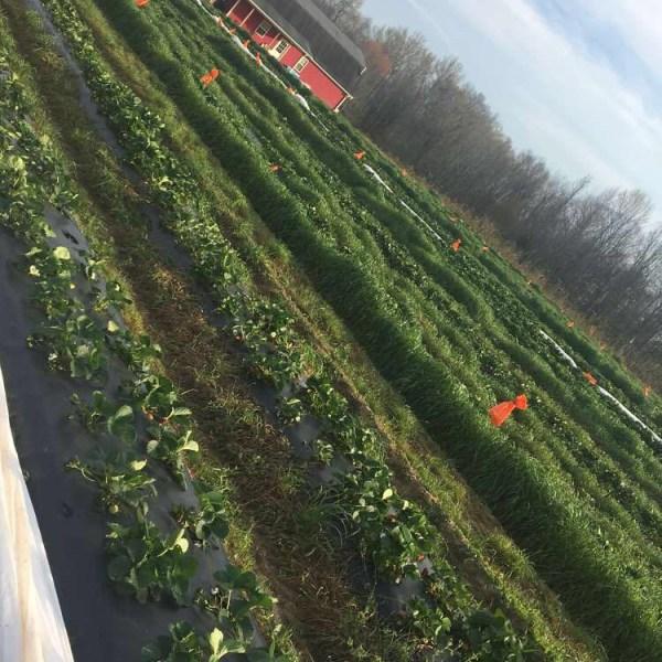 berry acres_349154