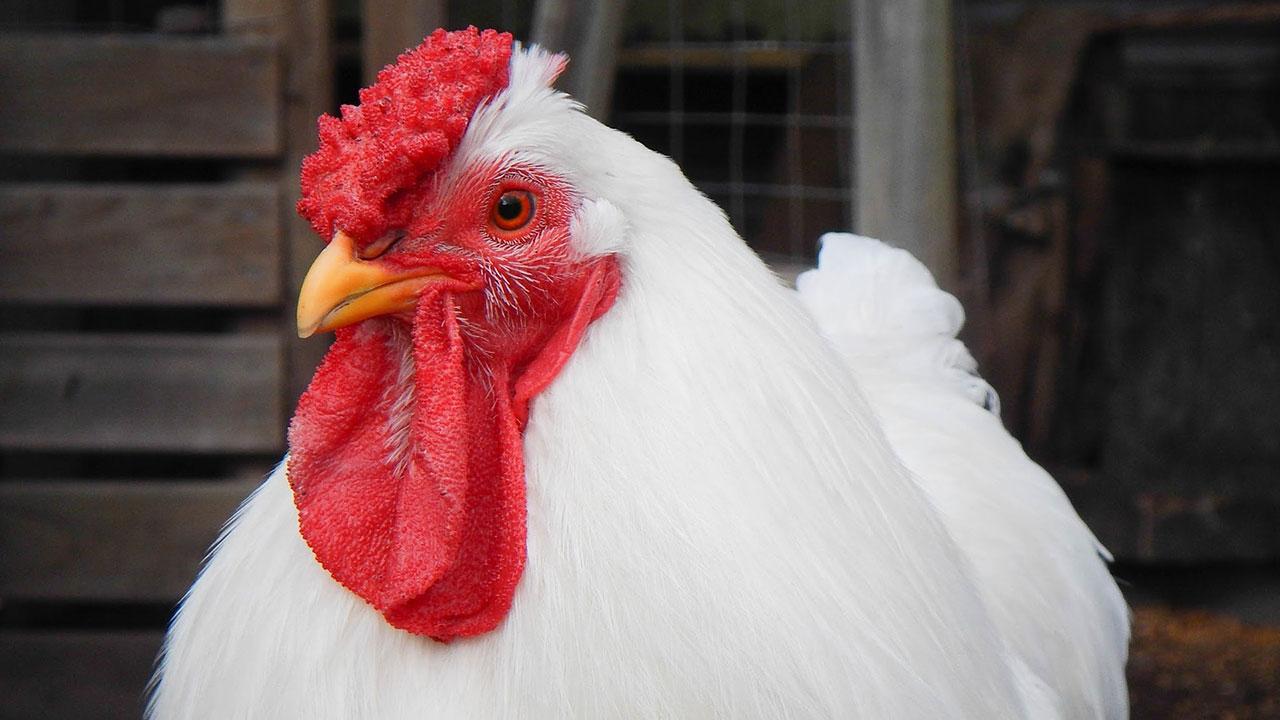 chicken-generic_337726