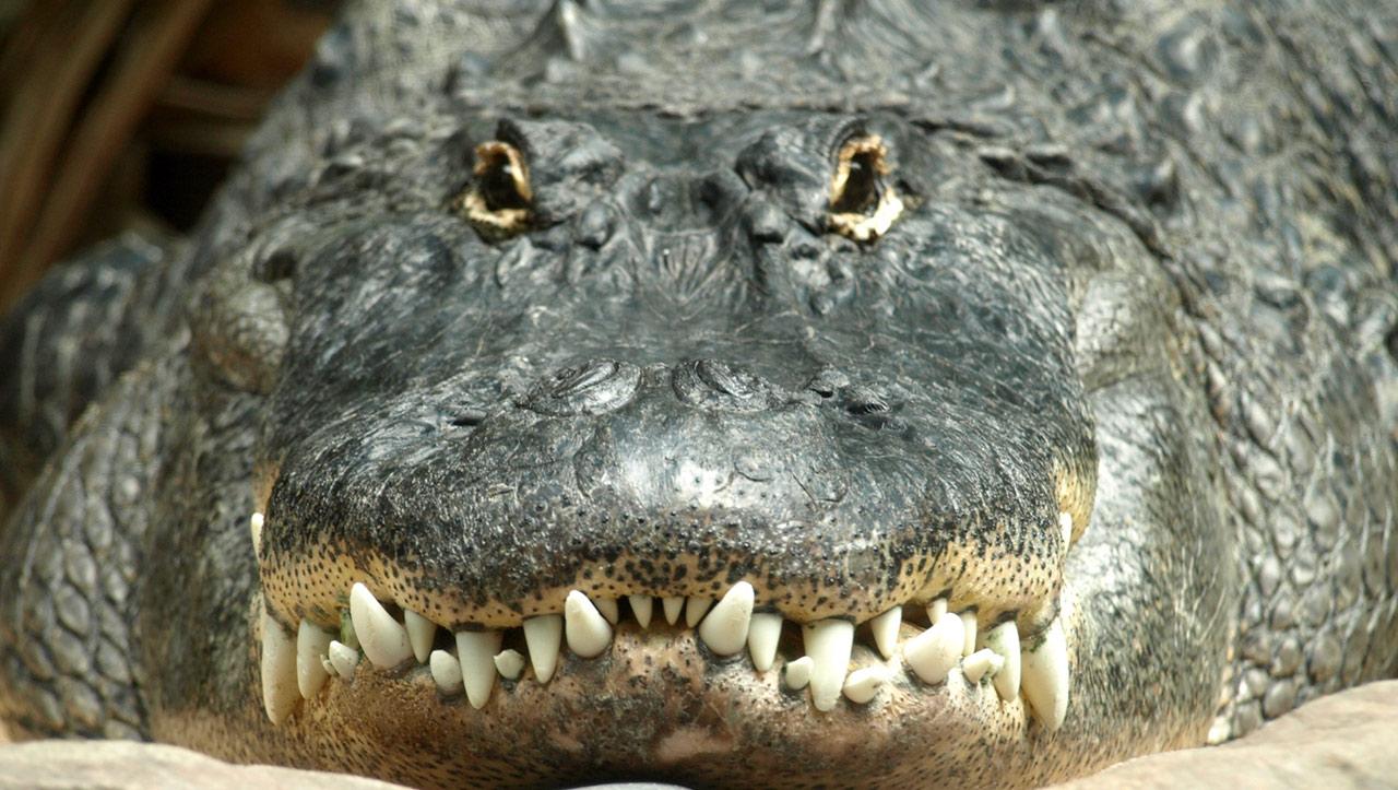 Alligator generic_245752