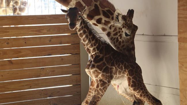 Pregnant Giraffe_368984