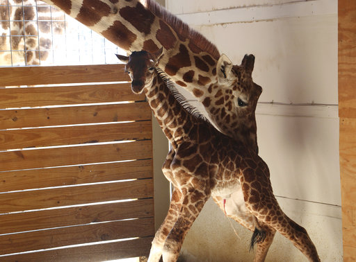 Pregnant Giraffe_367828