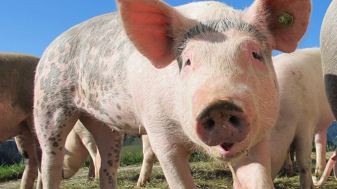pigs-generic_339973