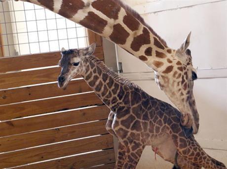 giraffe_373717