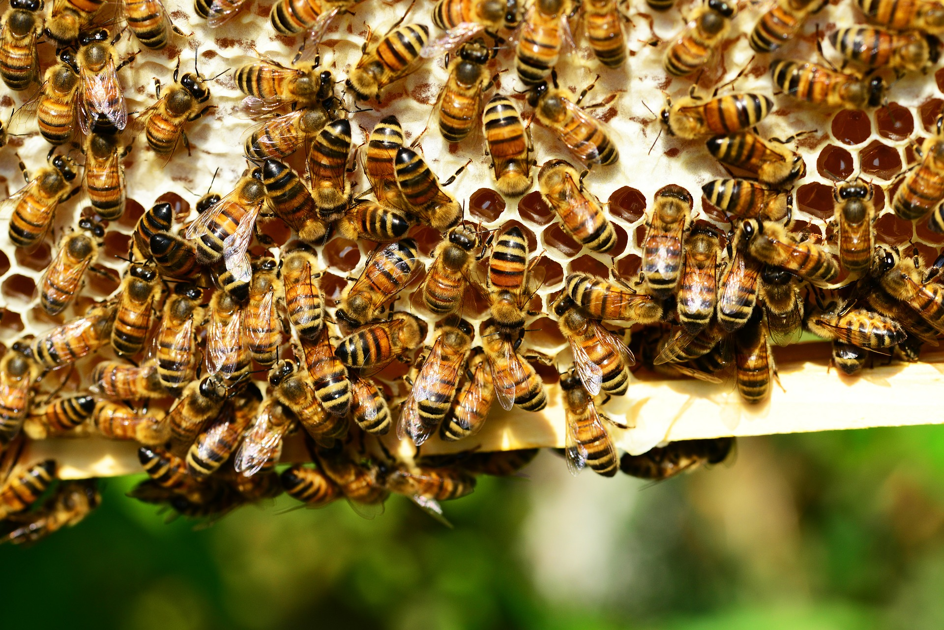 honey-bees-401238_1920_381940