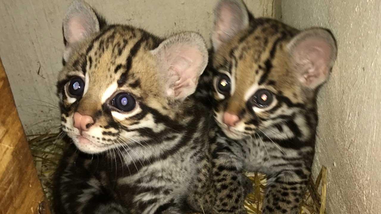 ocelot-kittens-featured_374721