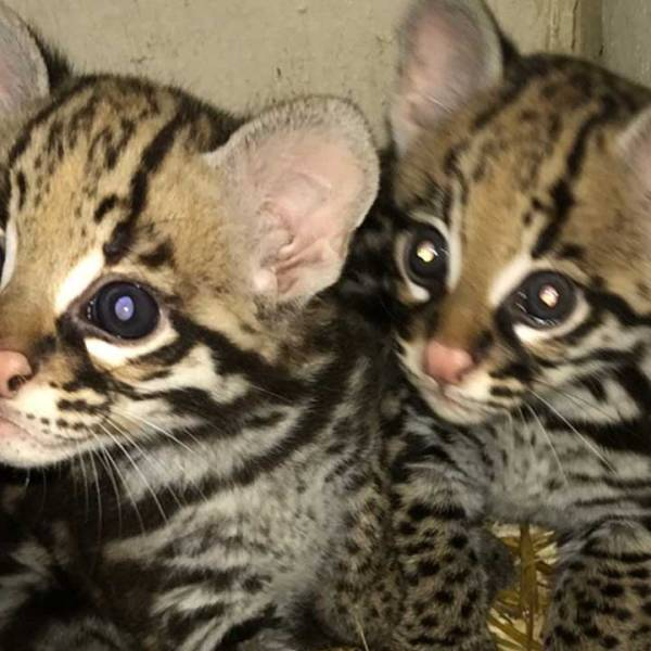 ocelot-kittens-featured_374721