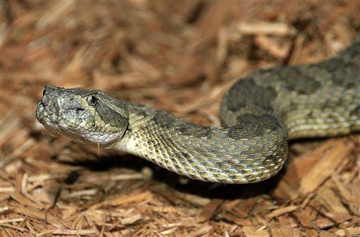 rattlesnake_377871