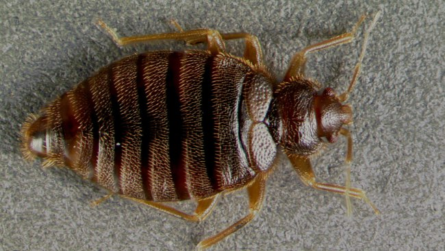 tropical-bed-bug_394525