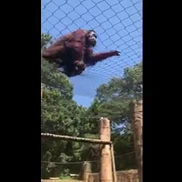 orangutan_414745