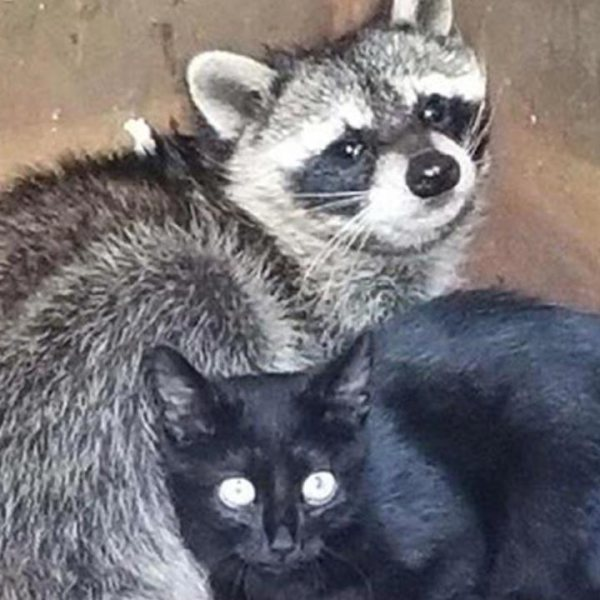 raccoon-kitten_474811