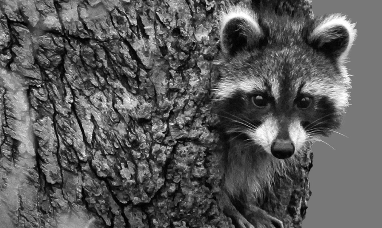raccoon rabid rabies_254490