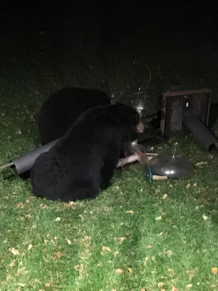 Bear Scare_494449