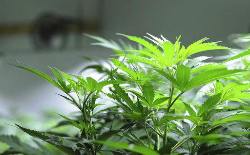 Alaska Marijuana_497617