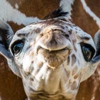 r-baby-giraffe-1-mug-backg_496132