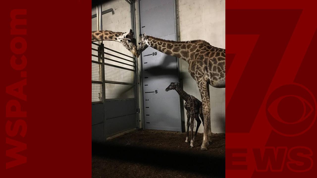 Walter-the-giraffe-WEB_393033