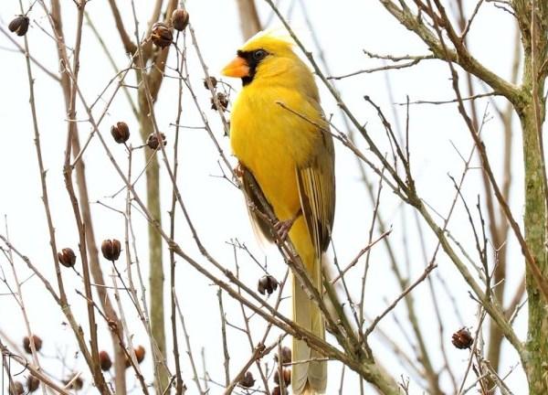 yellow-cardinal_555437