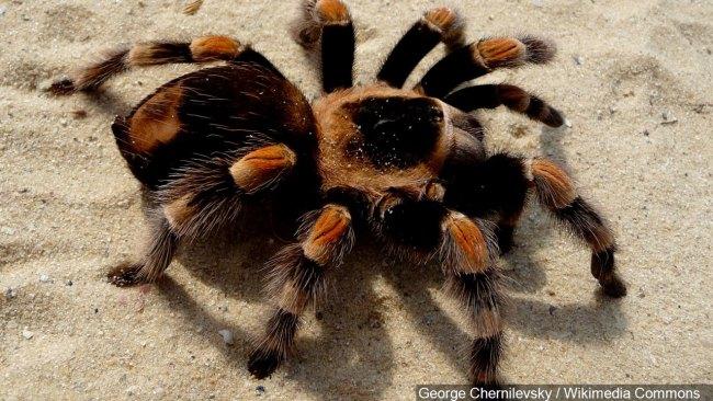 tarantula_1523618728598.jpg