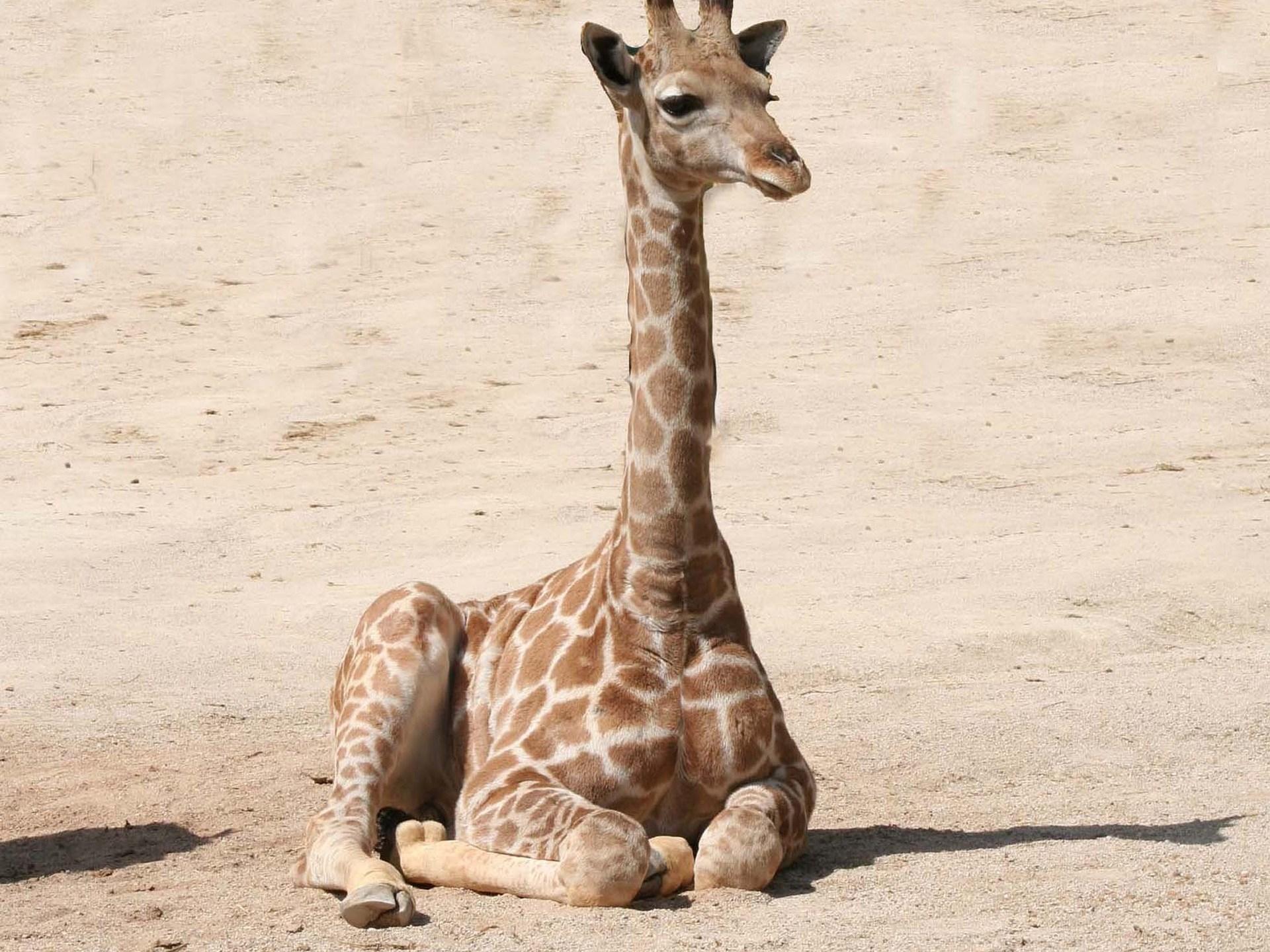 giraffe-1024589_1920_1525170740707.jpg