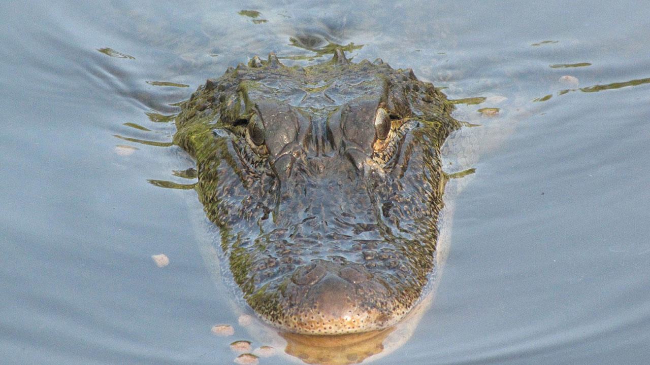 Alligator generic_265740