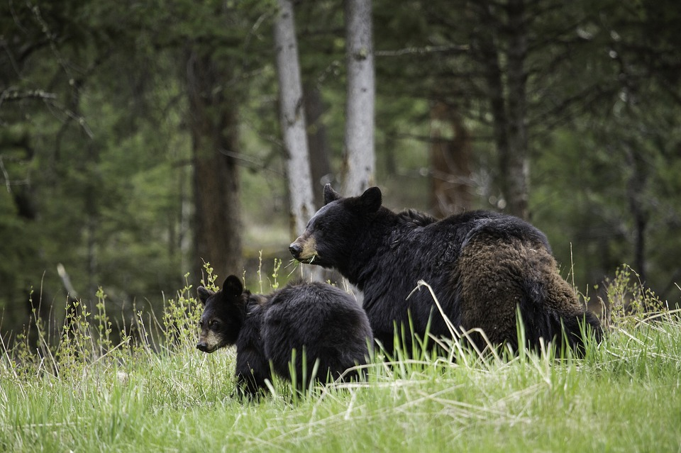 Black bear with cub