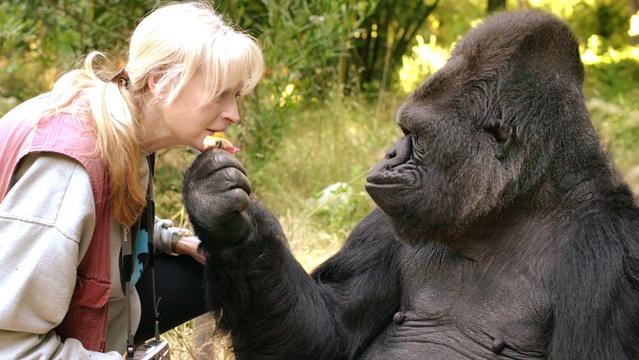 koko gorilla foundation_1529583121062.jpg_46198425_ver1.0_640_360_1529587617327.jpg.jpg
