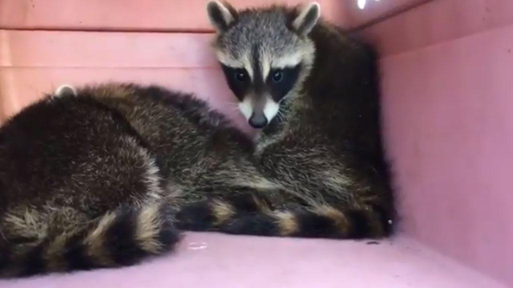 raccoons_1528996133451.jpg