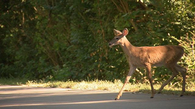 deer_274182