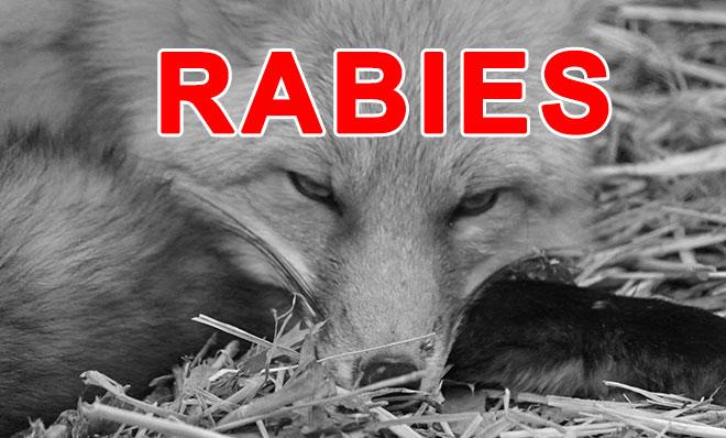 Rabies Fox Generic_168984