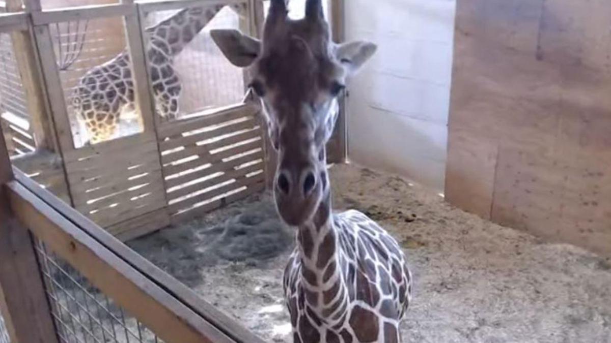 April the Giraffe_341335