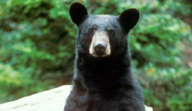 black bear generic_1528192877495.jpg.jpg