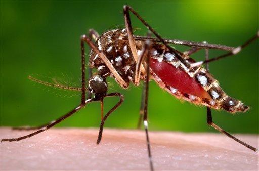 Aedes aegypti mosquito_234966