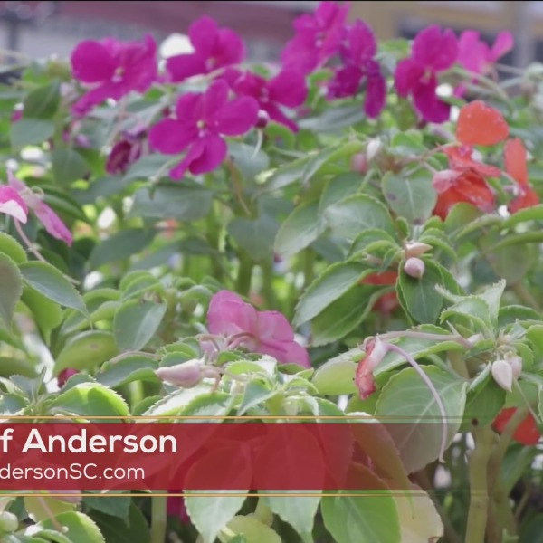 City of Anderson horticulturist nurtures a blossoming downtown